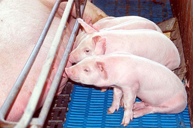 Setor de suínos é o mais prejudicado com embargo russo